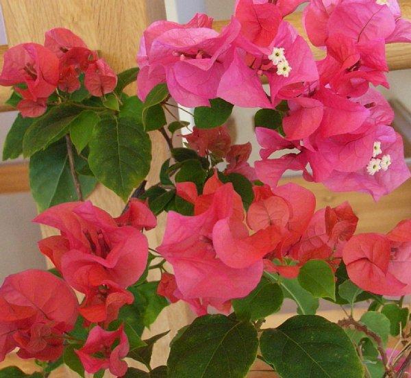 ブーゲンビリア 秋 花と蕾 600-552.jpg