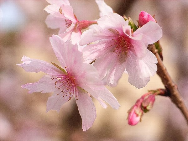 十月桜 600-450.jpg