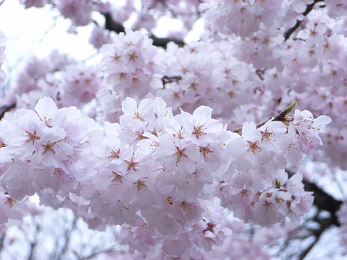 RIMG0052 桜(円山公園).jpg