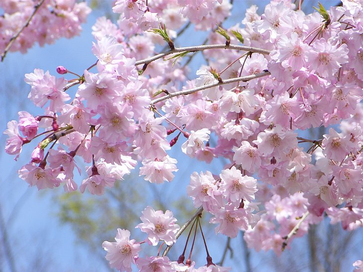 RIMG0221 鉢形枝垂桜.jpg